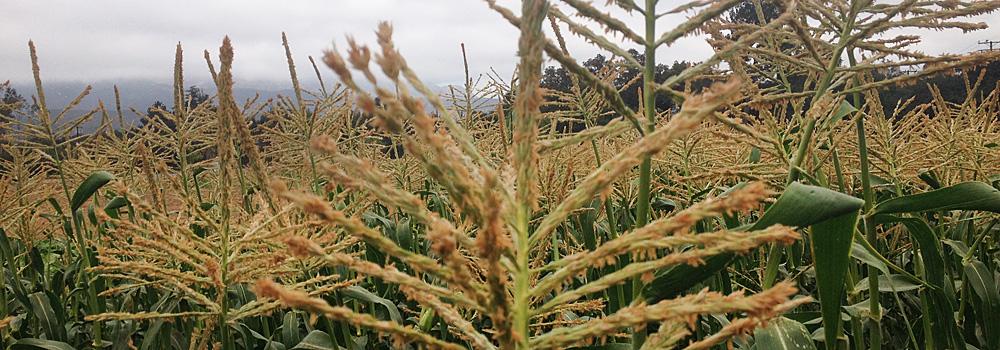 Organic Luscious F1 Hybrid Sweet Corn Seeds
