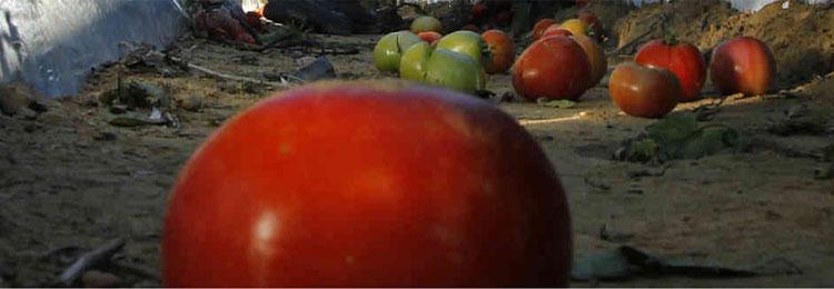 Brandywine Red Tomato Seeds