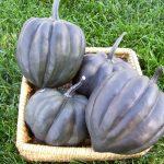 Acorn Squash BLACK BELLOTA  f1