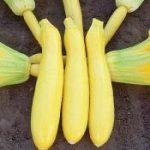 Yellow Straightneck Squash Sligo F1