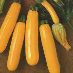 Zucchini gold SEBRING
